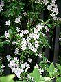 Serissa japonica1.jpg
