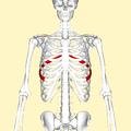 Seventh rib frontal2.png