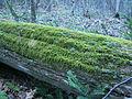 Shaggy log, Lake Superior Provincial Park.JPG