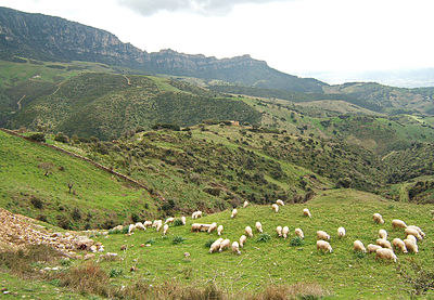 Sheep grazing around Lula, Nuoro - Sardinia