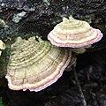 Shelf Mushroom.jpg