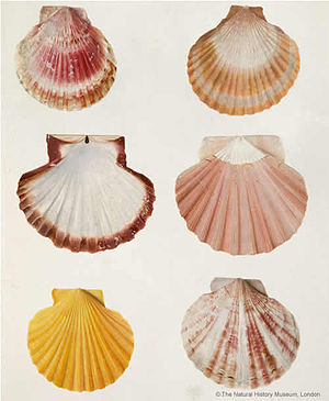 Peter Brown (naturalist) - Watercolour on vellum of six scallop shells in varying colours by Peter Brown c. 1766.