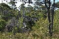 Shore Pine (Pinus contorta).jpg
