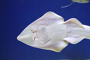 Shovelnose guitarfish - Ventral view