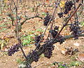 Shrivelled Pinot Noir in Santenay 2.jpg
