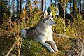 Siberian Husky im Norden von Schweden Övre Sandsele.JPG