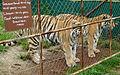 Siberian Tigers (4300093243).jpg