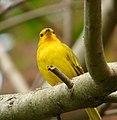 Sicalis flaveola (Canario coronado) (10) - Flickr - Alejandro Bayer.jpg