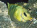 Siganus corallinus, Mirihi.jpg