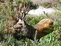 Sika deer, RSPB Arne reserve - geograph.org.uk - 1446840.jpg