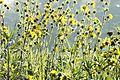Silphium laciniatum COMPASS PLANT (5146424300).jpg
