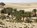 Sinai palm dates farming.jpg