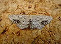 Single Dotted Wave. Idaea dimidiata (45680447152).jpg