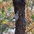 Sitta carolinensis carolinensis, NJ (5183919867).jpg