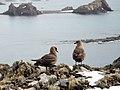 Skuas -Weddell Sea, Antarctica-8.jpg