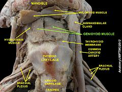 Stylohyoid muscle cadaver
