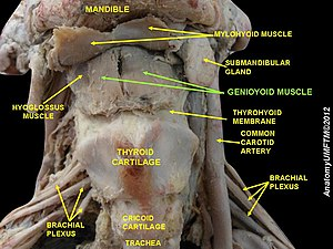 Geniohyoid muscle - Image: Slide 1ss