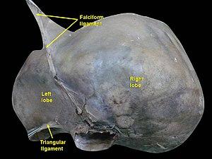 Left triangular ligament - Image: Slide 4UC