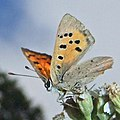 Small Copper (Lycaena phlaeas) (10335406323).jpg