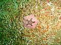 Small barnacles and subtidal cushion star at Lorry Bay PB011900.JPG