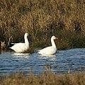 Snow Geese (5129291925).jpg