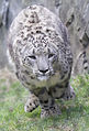 Snow leopard running.jpg