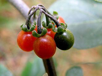 Solanum nigrum - Ripe and unripe Solanum Nigrum berries on the same stalk