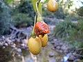 Solanum aviculare fruit 3.jpg