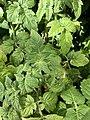 Solanum lycopersicum 1 2018-07-02.jpg