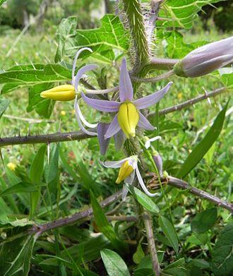 Solanum - Solanum palinacanthum