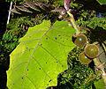 Solanum quitoense, a naranjillo leaf (11397016284).jpg
