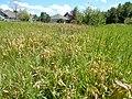 Solidago canadensis - Canada goldenrod - sprayed with herbicide - Flickr - Matt Lavin (2).jpg