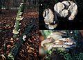 Some hanging and resupinate Trametes hirsuta mushroom at the lying branch, inmidst the normal caps Trametes hirsuta (Hairy Bracket, D= Striegelige Tramete, F= Tramète hirsute, NL= Ruig elfenbankje) white spores and cau - panoramio.jpg