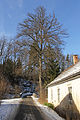 Sommerlinde bei der Anderlfabrik 2014-02 01 NÖ-Naturdenkmal GD-091.jpg