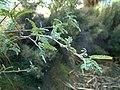 Sophora-microphylla-foliage.jpg