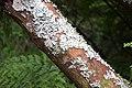Sophora microphylla in Auckland Botanic Gardens 04.jpg