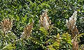 Sorbaria sorbifolia - Parc Georges Brassens.jpg