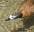 South African Shelduck 2.jpg