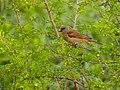 Southern Grey-headed Sparrow (Passer diffusus) (11626350395).jpg