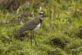 Southern Lapwing - Colombia S4E5661 (15643320862).jpg