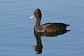 Southern Pochard, Netta erythrophthalma, at Marievale Nature Reserve, Gauteng, South Africa (29136766080).jpg