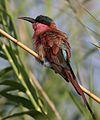 Southern carmine bee-eater, Merops nubicoides, Chobe National Park, Botswana (32339712591).jpg