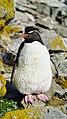 Southern rockhopper penguin (51051123528).jpg
