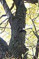 Speierling, Winzendorf 04.jpg