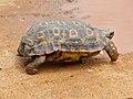 Speke's Hingeback Tortoise (Kinixys spekii) (13606013824).jpg