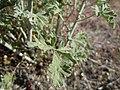 Sphaeralcea grossulariifolia (5144286524).jpg