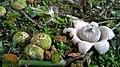 Spherical Fruit Bodies and Open Exoperidium of Earthstar Mushrooms (Geastrum saccatum).jpg