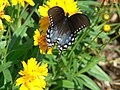 Spicebush Swallowtail (4679011518).jpg