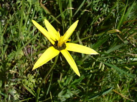 Spiloxene capensis yellow form - HYPOXIDACEAE.JPG
