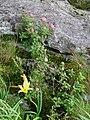 Spiraea japonica and Hemerocallis dumortieri var. esculenta.jpg
